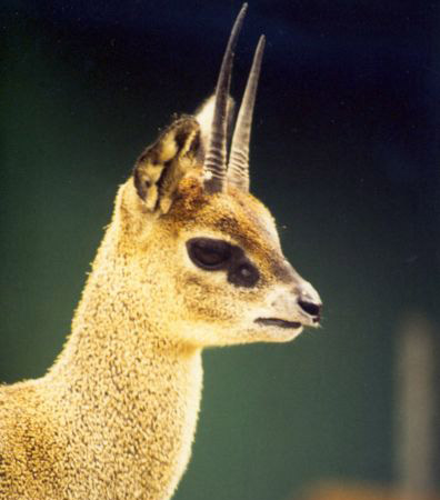 Love the Klipspringer